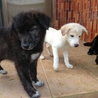 四月産まれの仔犬(琉球犬)