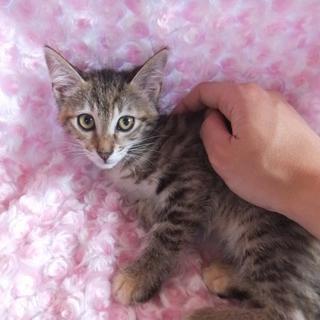 ★★小さいキジ子猫です。★★