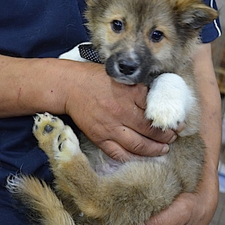 コーギーmix♂ 子犬 ツバサくん