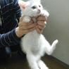 白子猫2ヶ月半くらいの女の子