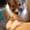 かわいいシェルティとスピッツのミックス犬