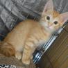 生後2ヶ月位の茶トラ仔猫ちゃん