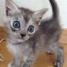 1ヶ月。青い目の姉妹の一匹。グレーだけど白ちゃん