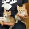 人懐こい茶白の子猫 サムネイル7