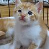 人懐こい茶白の子猫 サムネイル3