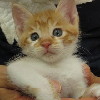 人懐こい茶白の子猫