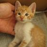 人懐こい茶白の子猫 サムネイル4