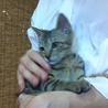 抱っこ大好き、大人猫も人間も大好きキジ坊