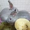 【ミニウサギ】赤ちゃんの里親募集♪