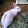 ミニウサギもらって下さい!