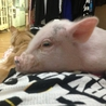 ミニ豚3ヶ月