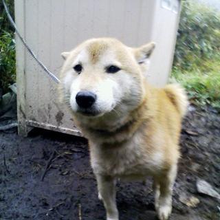 シニア柴犬☆元気で人懐っこい男の子!