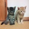 子猫6匹の里親を募集します