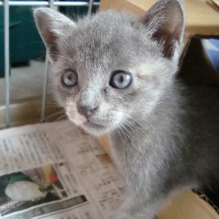 ロシアンブルーのような子猫「あわいさん」!!