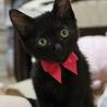 【愛知県】生後二か月半メス黒猫の里親募集です
