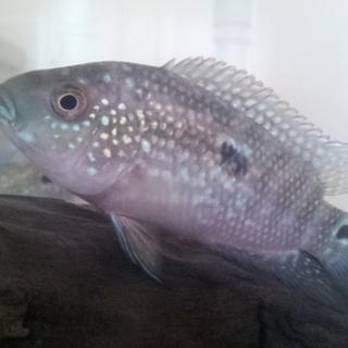 熱帯魚3種☆里親募集
