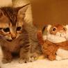 猫モデルのように可愛い♪ スコティッシュmix
