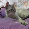 ミックス猫(短毛なヒマラヤンっぽい色合い)