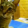 キジトラ成猫・雌 とてもなつっこく穏やかな性格です