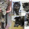 洋猫Mix 長毛 1ヶ月+小さな母キジトラ1歳