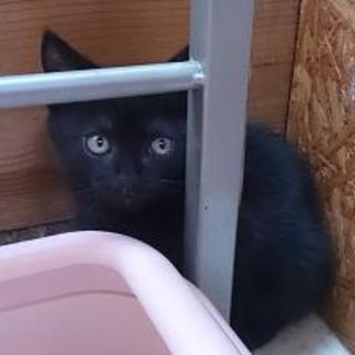 再・アメショーブラック元気な子猫です