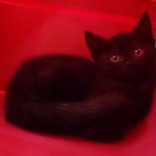 アメショーブラック、シャイな子猫ちゃんです