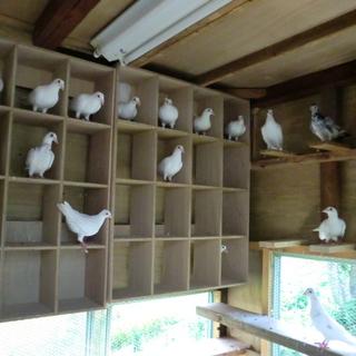 白系鳩の飼育して下さい