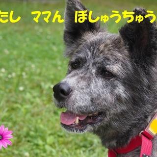 秋田犬 とわちゃん