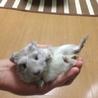 可愛い赤ちゃんモルモット