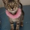 キジトラちゃん(黒色系)生後2ヶ月の子猫です