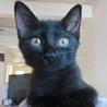 性格花マル❤超可愛い黒猫ミッキー君 生後2ヶ月