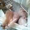 ネザーランドドワーフの赤ちゃん 残り1羽