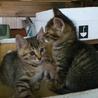 キジトラの子猫兄弟です。