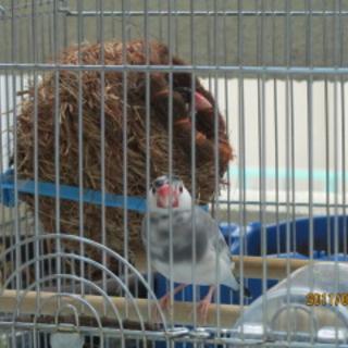 文鳥のオス、沖縄県内の方 里親募集
