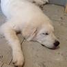 6ヶ月になるピレネー犬の男の子の里親さん募集。