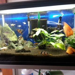 60cm水槽に住む魚たちの里親を募集しています。