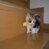 子猫(人懐っこいミケ)の里親募集!