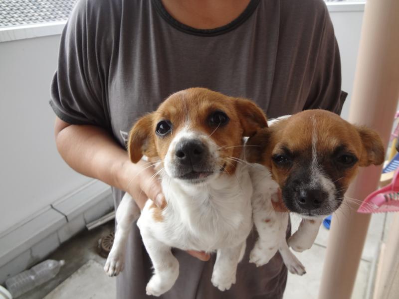 「子犬譲ります。 チワワラ...」茨城県 - 犬の里親募集(22982 ...