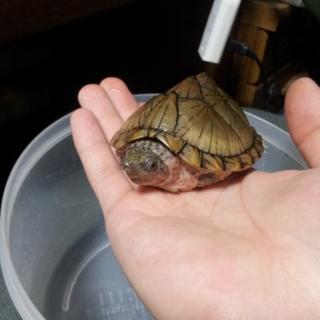 カブトニオイガメの里親募集します