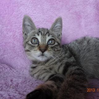 キジトラ子猫 メス 尾長の美猫で優しい性格