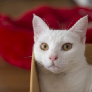 【たら】 キュートな童顔白ネコ