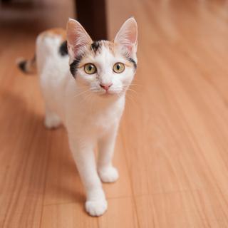 【こえみ】 若くて小柄三毛☆福島被災猫