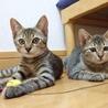 仔猫2匹家族募集お願いします。