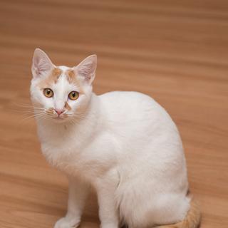 【はらくん】 1歳未満☆福島被災猫