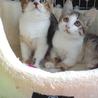 ミケキジ子猫4ヶ月