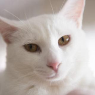 【ゆきお】 イケメン白猫くん