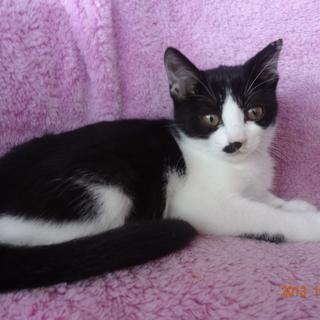 白黒子猫 メス ちょっと大人しくシャイな性格