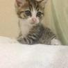 シロキジさん…まだ名前もない子猫です