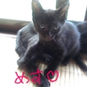 至急!!黒猫チャンの里親探しています!