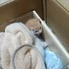 生後2週間の子猫の里親募集(茶色)